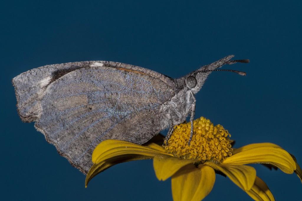 American Snout Butterfly DSC_9484